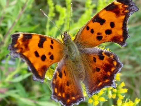 Comma butterfly adult food