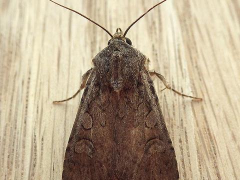 Reaper Dart Euxoa messoria (Harris, 1841) | Butterflies and