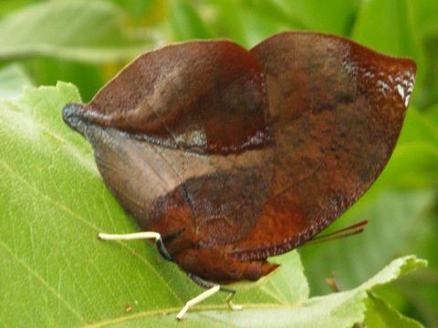 Bộ sưu tập cánh vẩy 4 - Page 27 Siderone-galanthisred-and-black-leafwing-2-llj