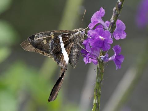 White-striped Longtail Chioides albofasciatus (Hewitson