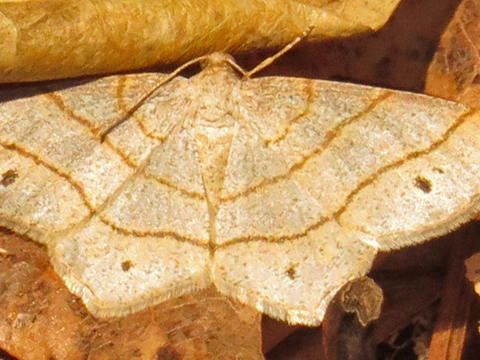 Four-spotted Angle Trigrammia quadrinotaria (Herrich