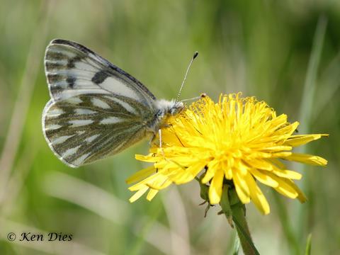 Sưu tập Bộ cánh vảy 3 - Page 5 Western_white_butterfly_pontia_occidentalis_occidentalis-008
