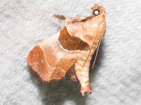 Tosale oviplagalis (Walker, 1866) | Butterflies and Moths of