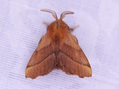 Observation date Jul 20 2017 & Forest Tent Caterpillar Moth Malacosoma disstria Hübner 1820 ...