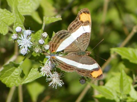Band-celled Sister Adelpha fessonia (Hewitson, 1847) | Butterflies