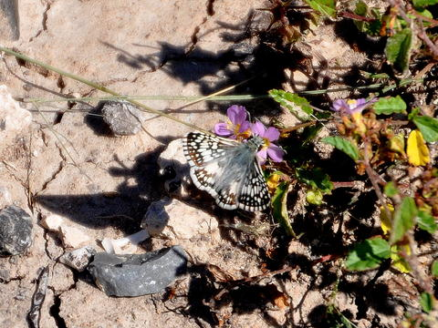 White Checkered Skipper Pyrgus Albescens Plötz 1884 Butterflies
